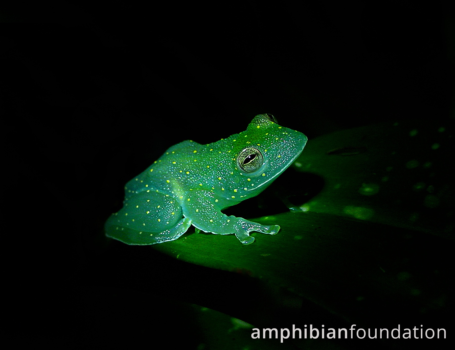 Slope-snouted Glass Frog