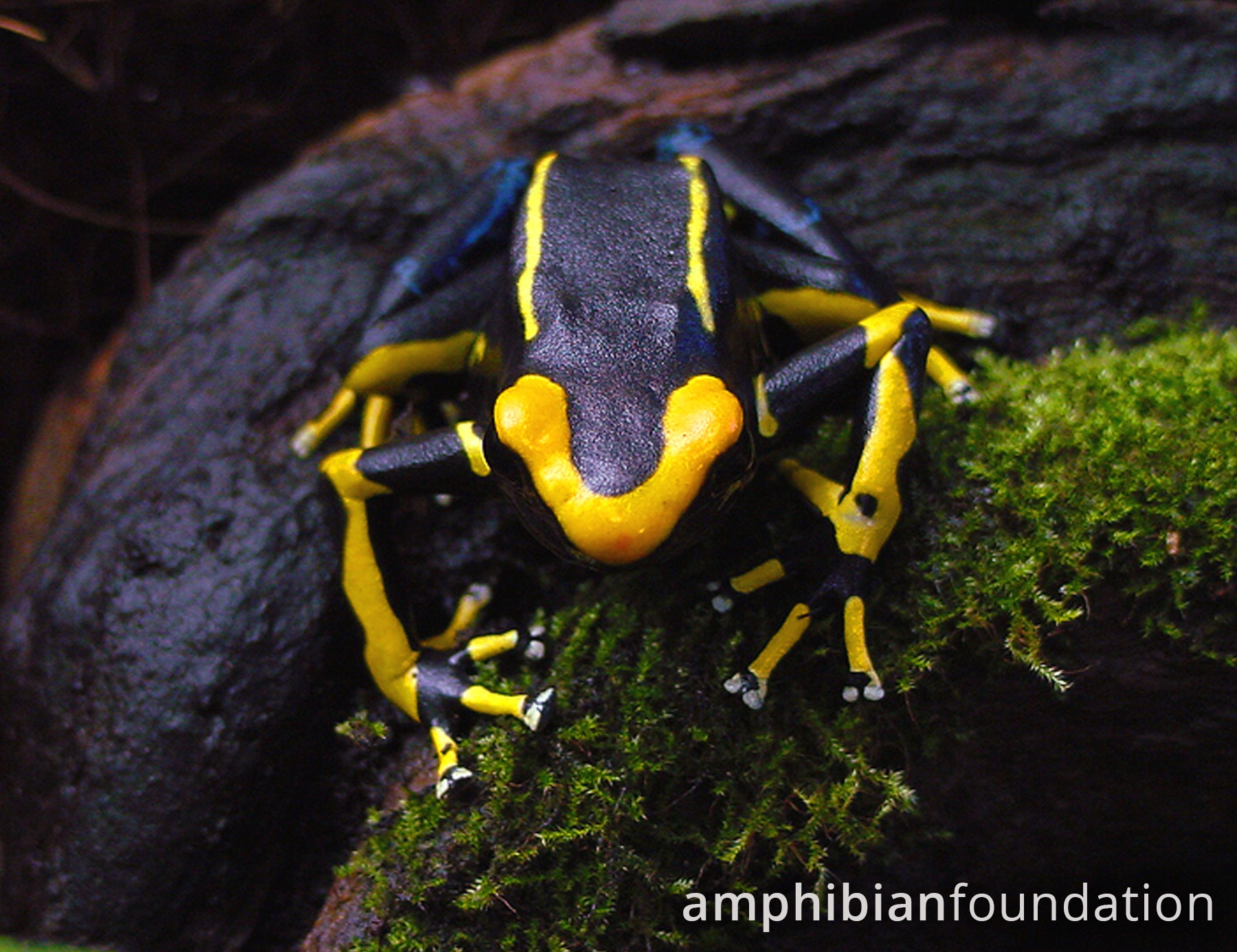 Alanis Poison Frog
