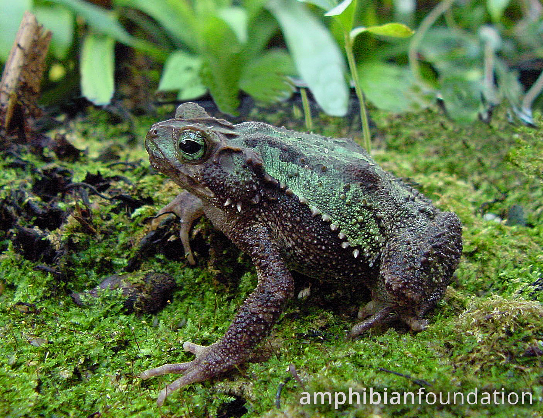 Green Spiny Toad