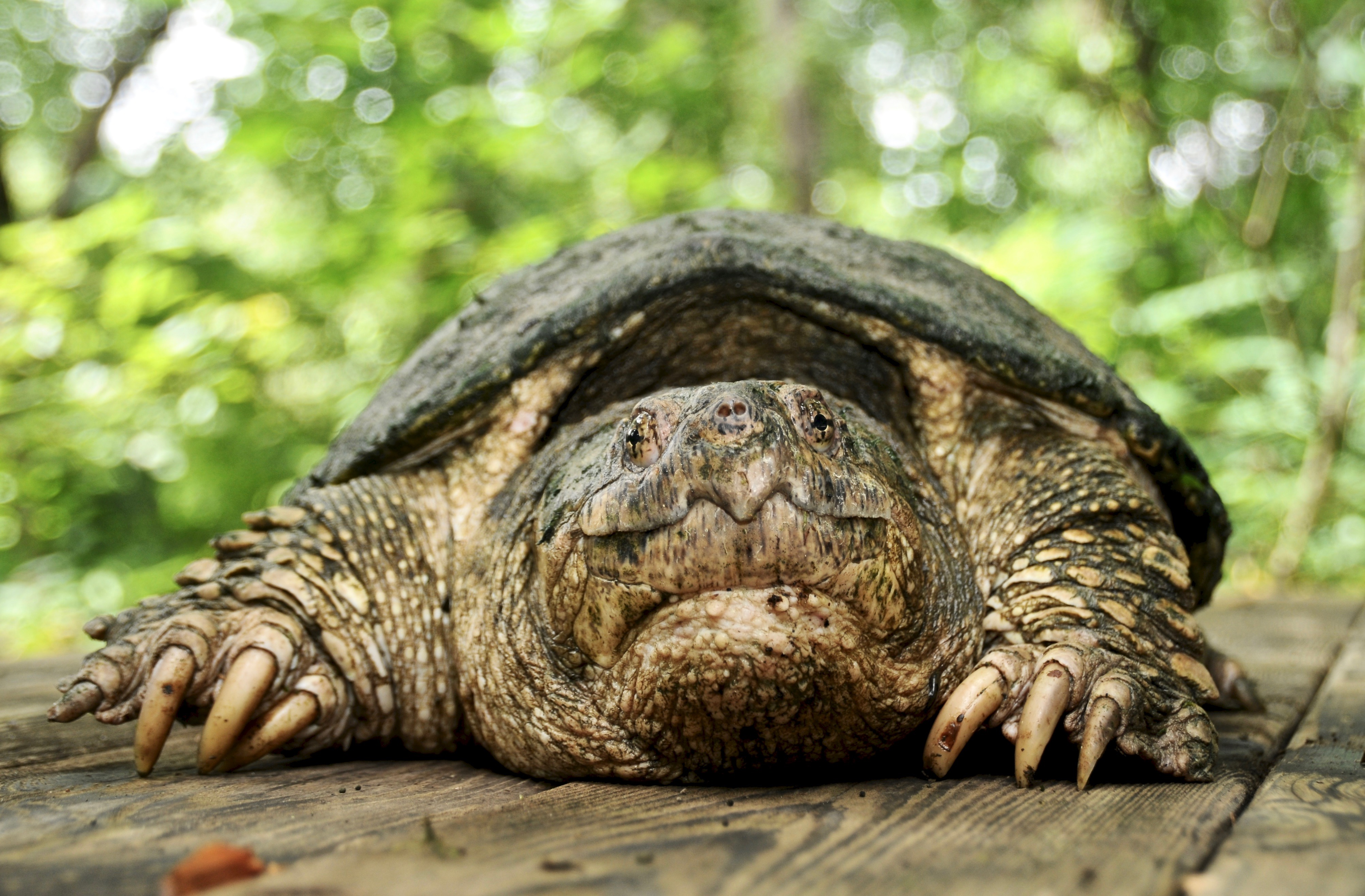 Common Snapping Turtle 102