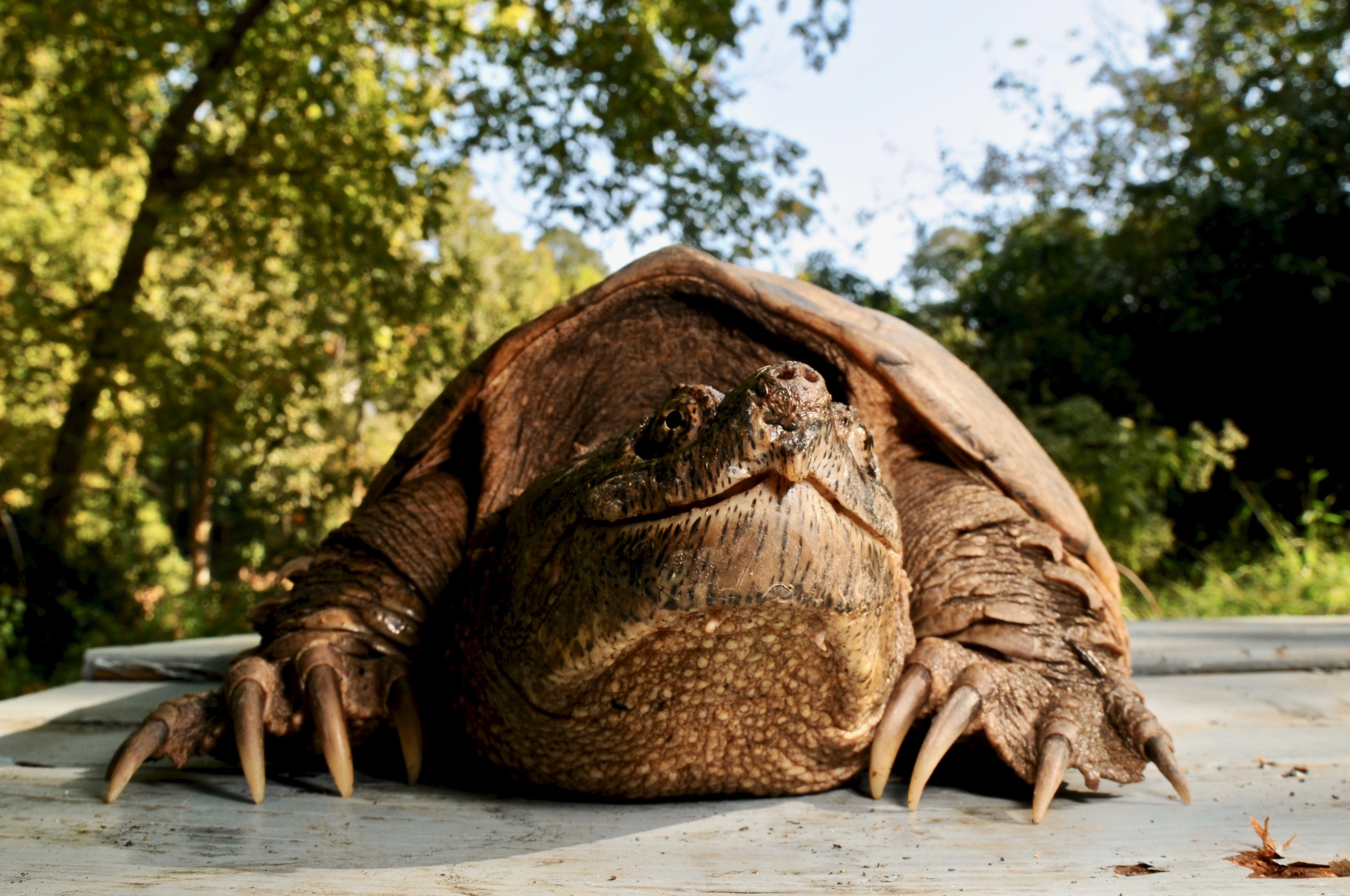 Common Snapping Turtle 107