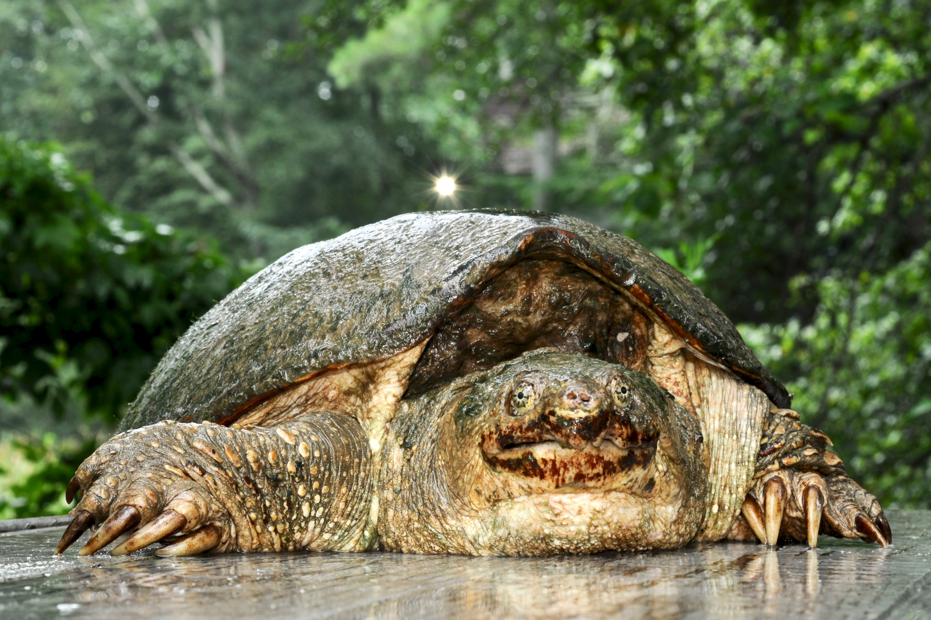 Common Snapping Turtle 109