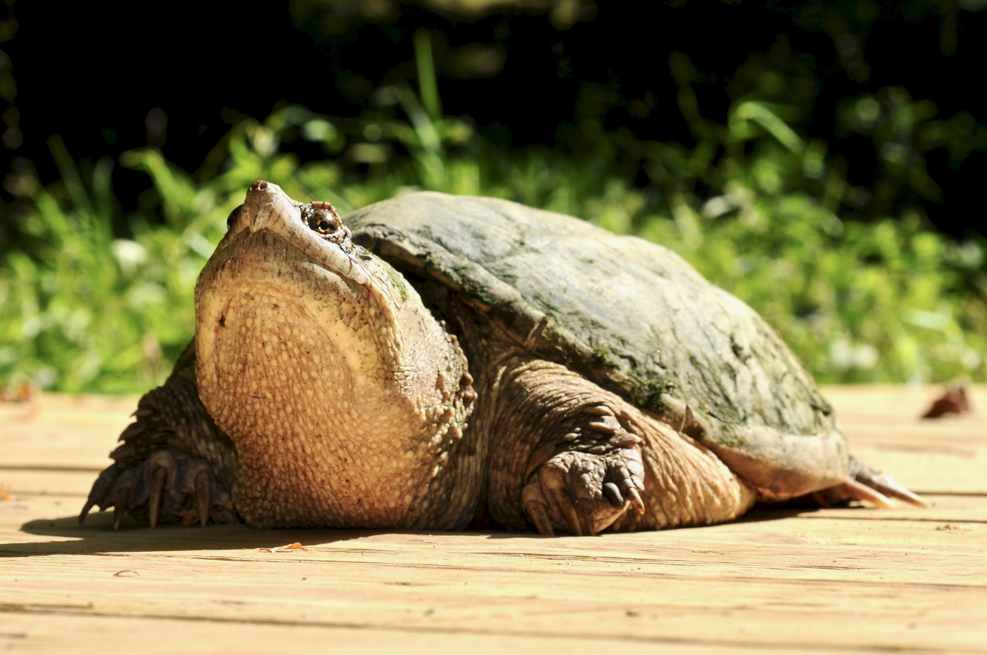 Common Snapping Turtle 125