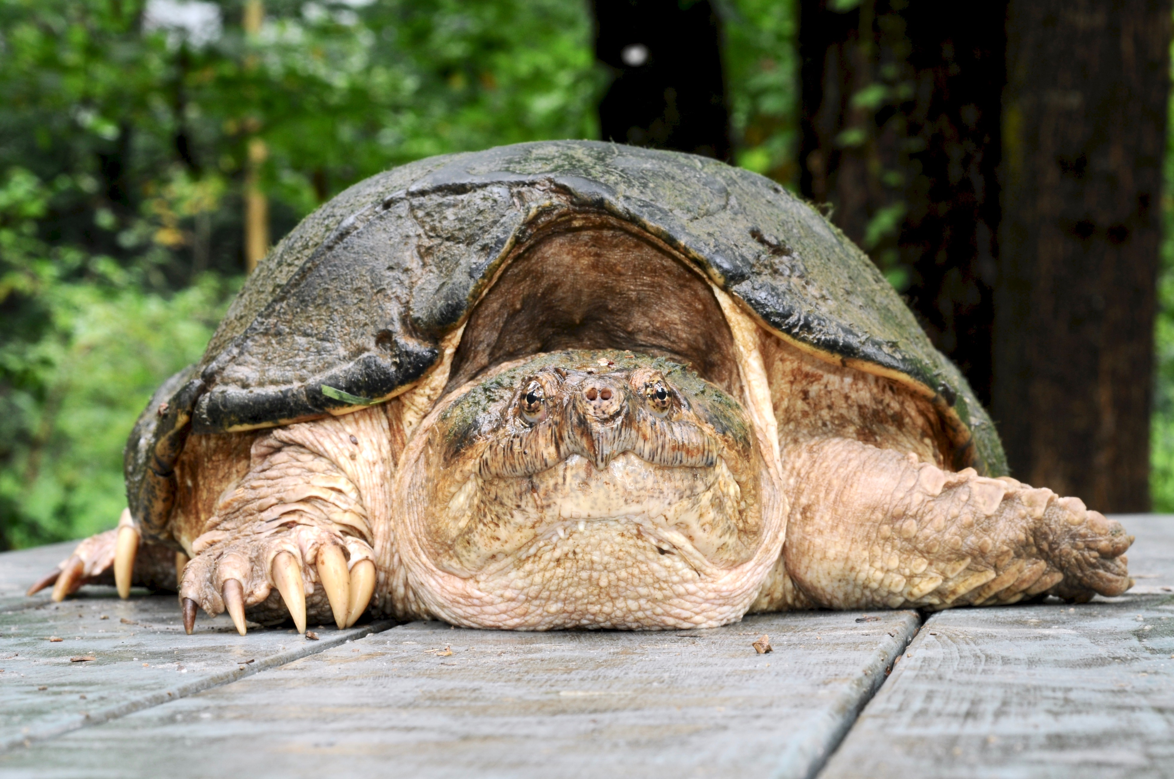 Common Snapping Turtle 126