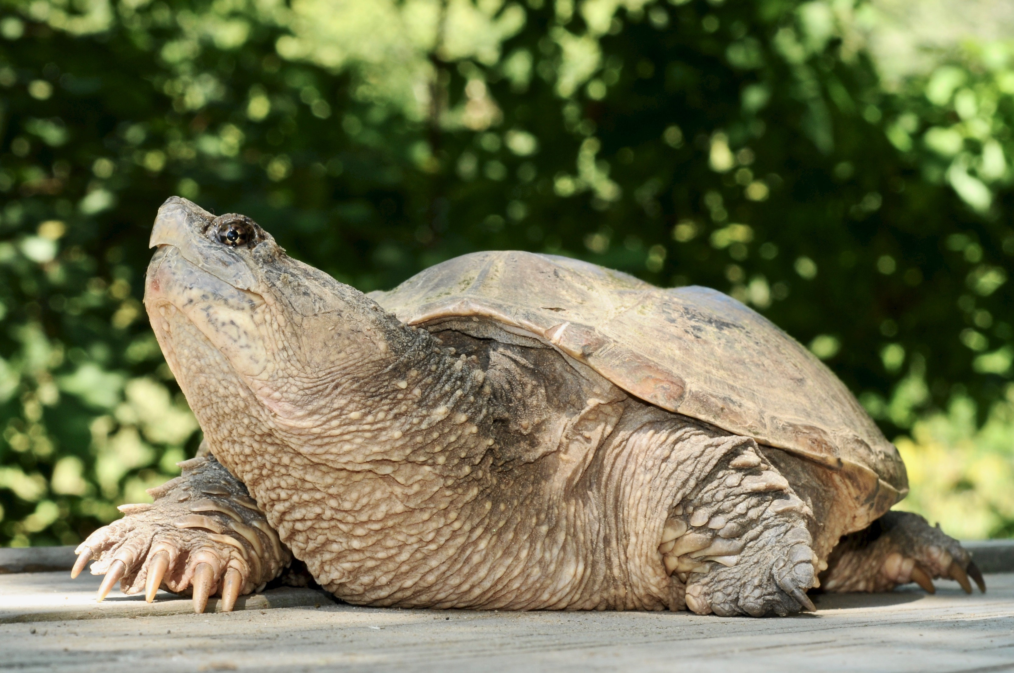 Common Snapping Turtle 127