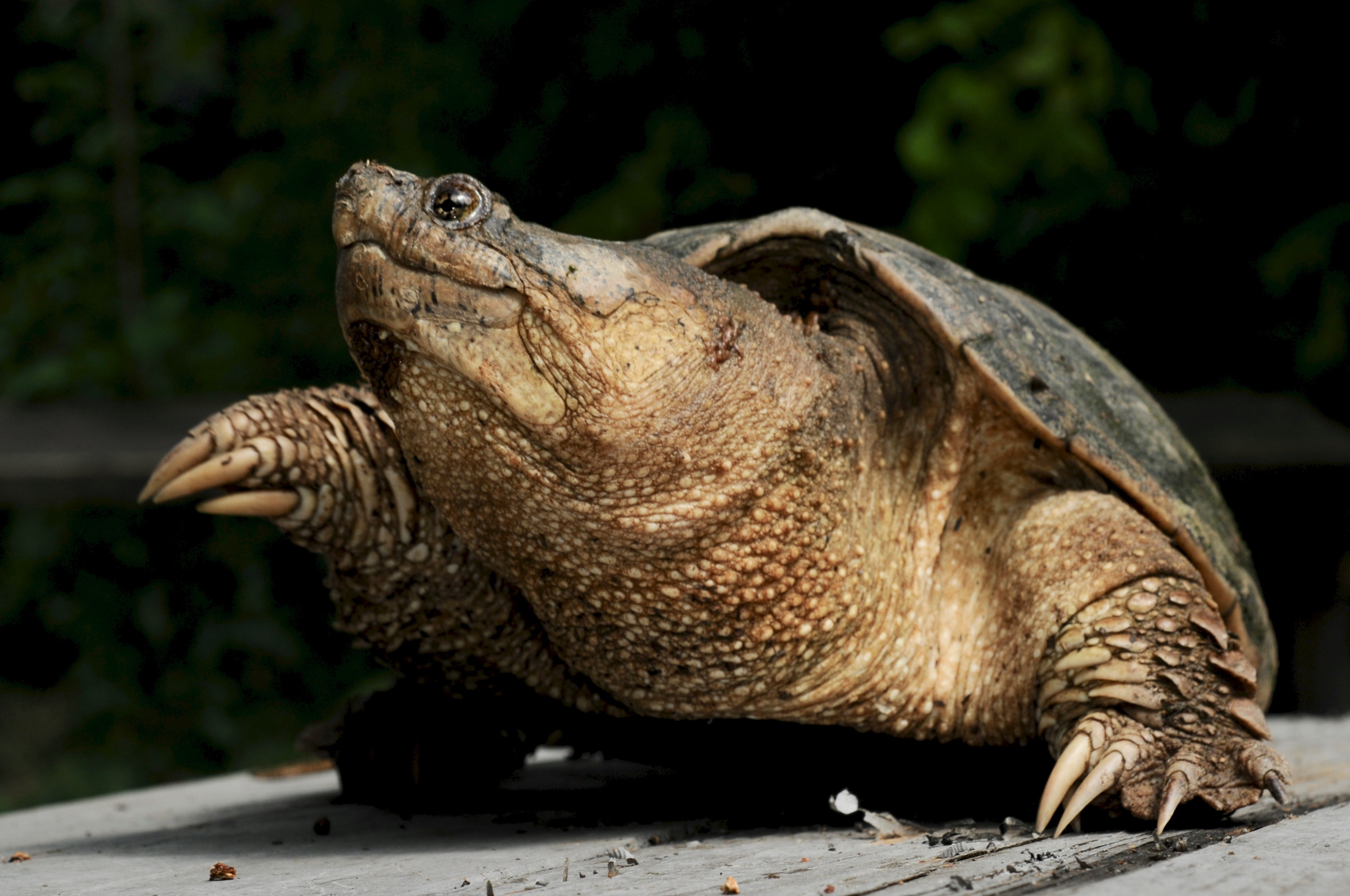 Common Snapping Turtle 128