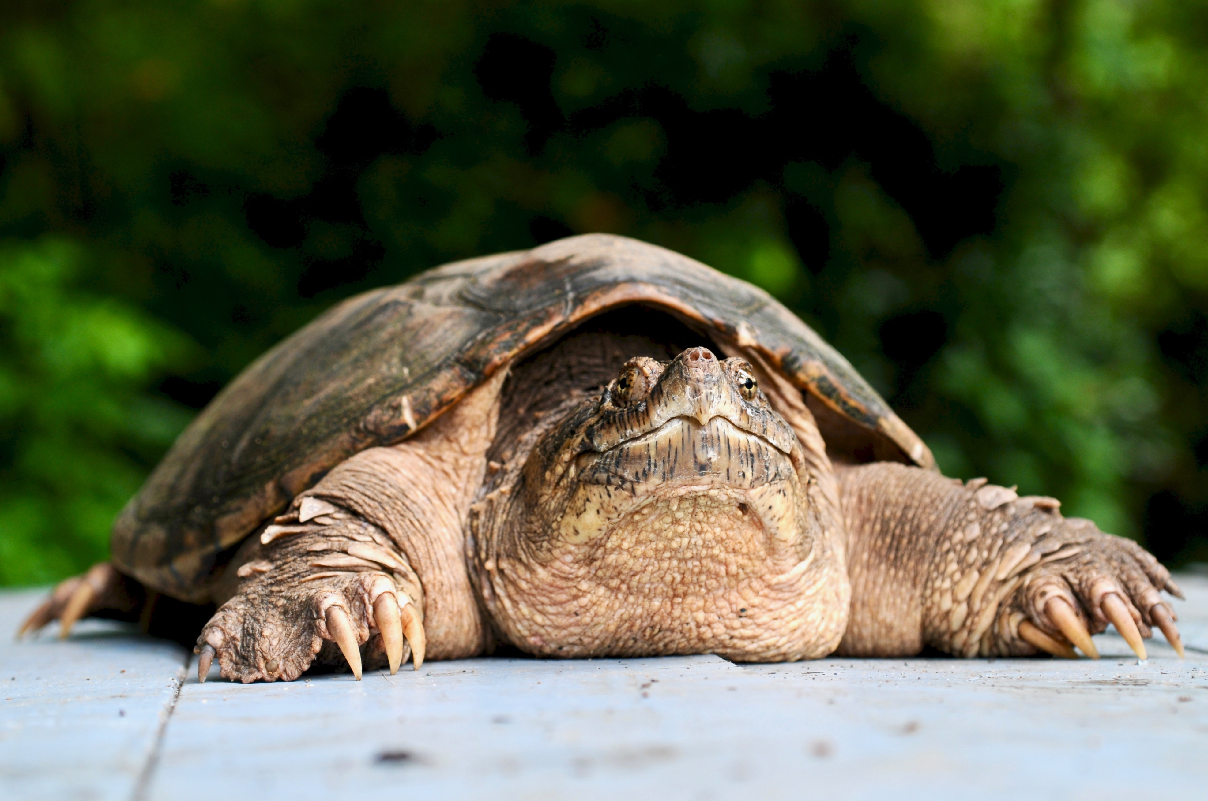 Common Snapping Turtle 129