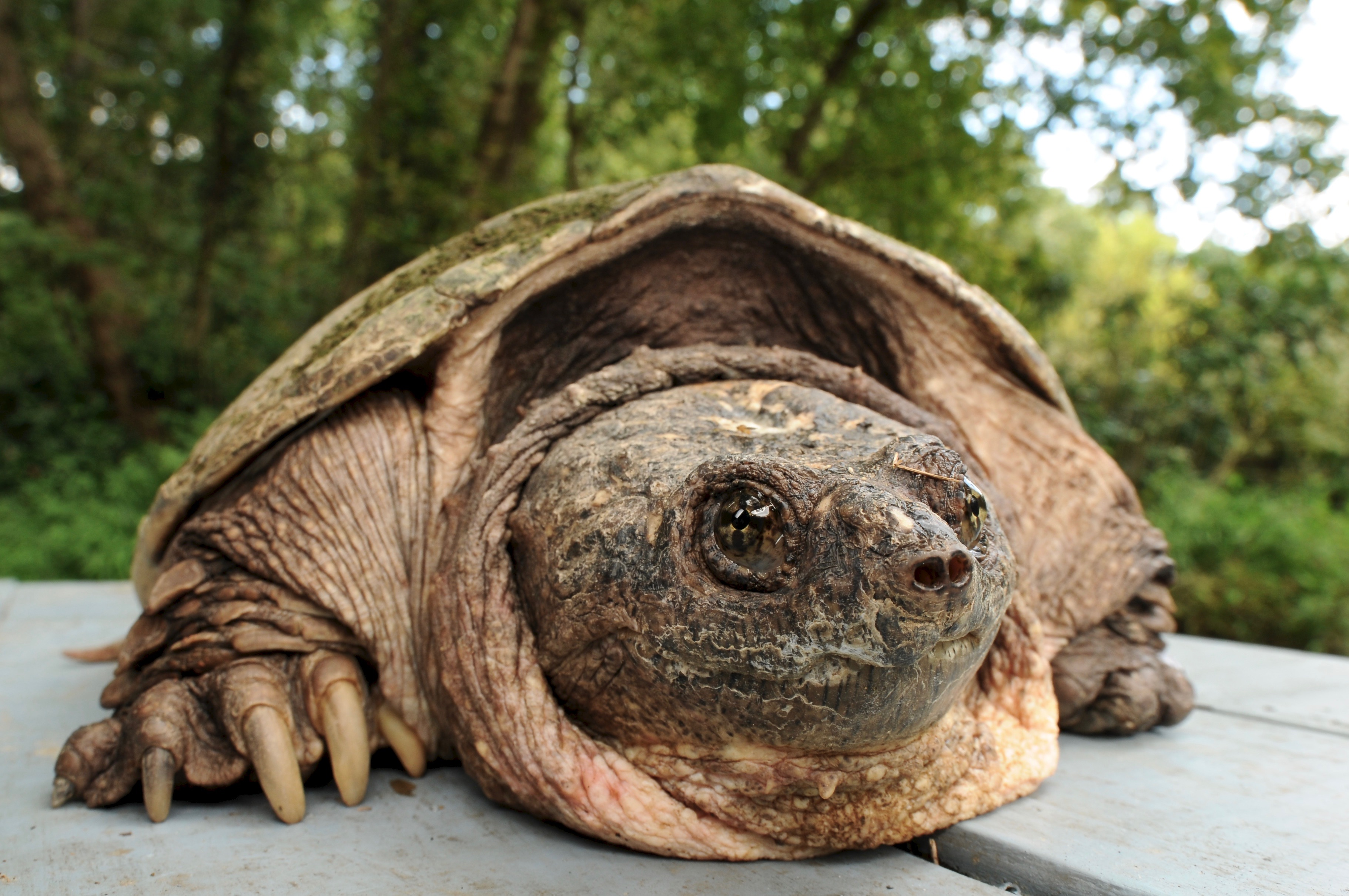 Common Snapping Turtle 130