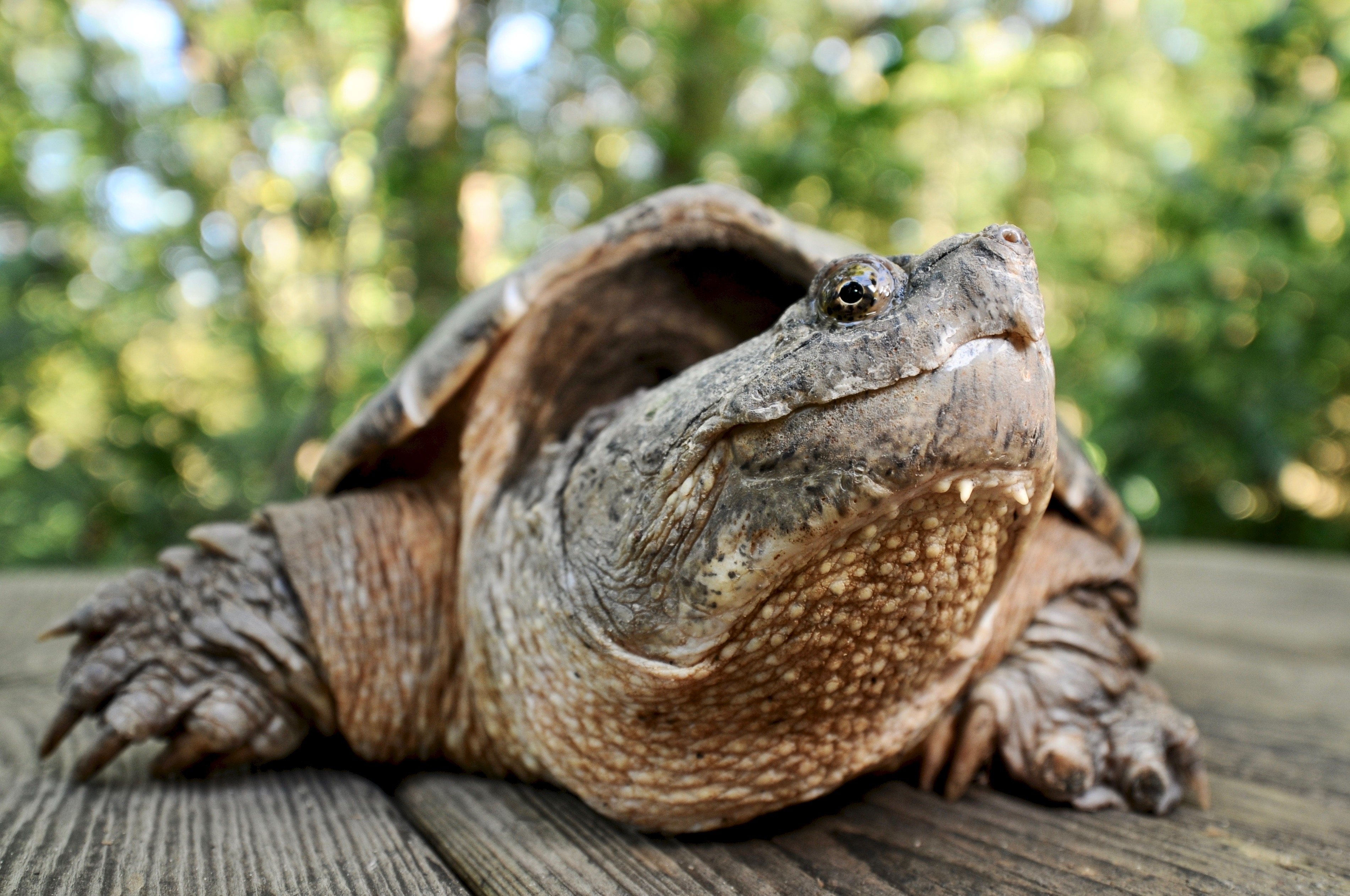 Common Snapping Turtle 133