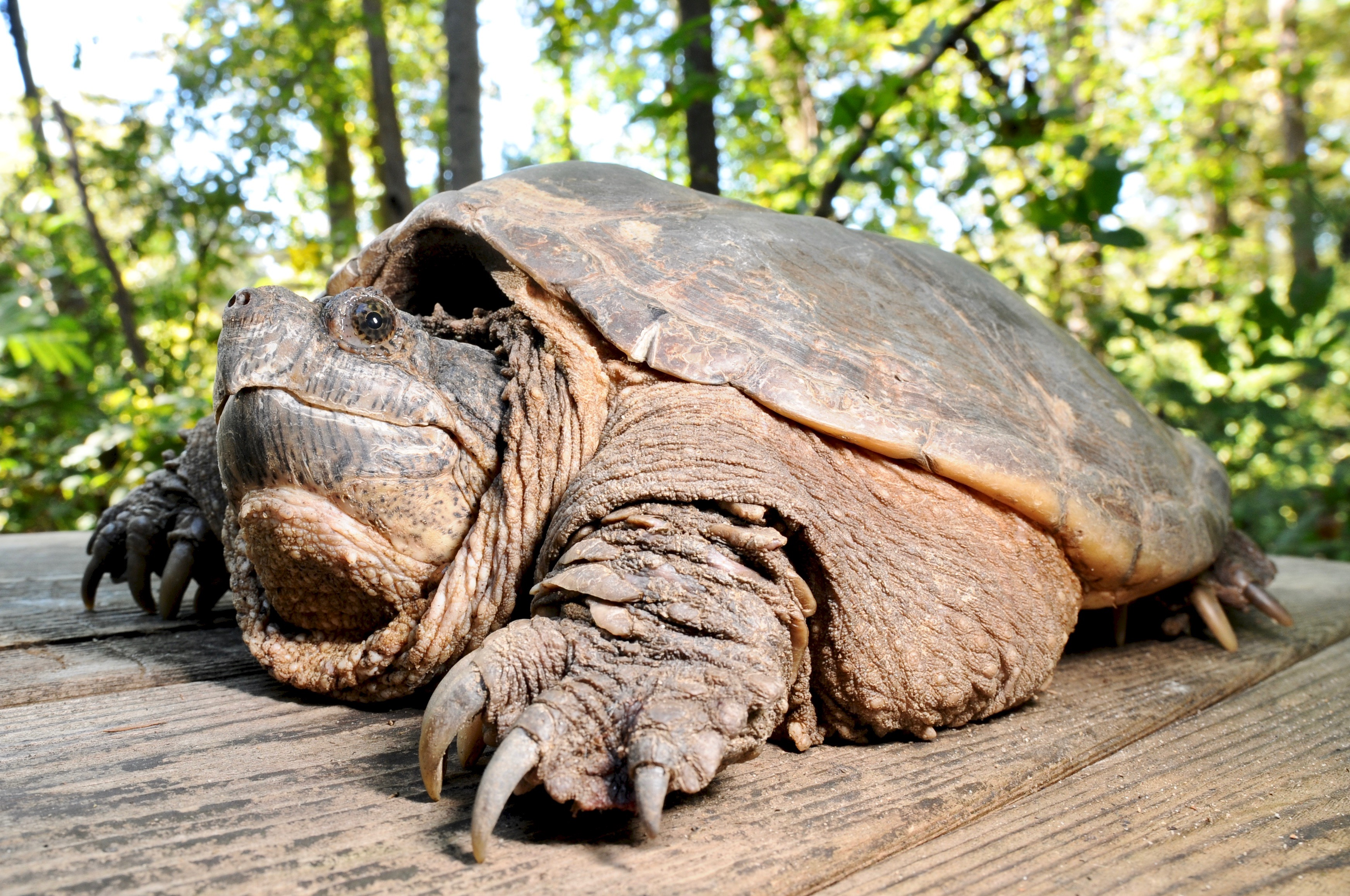 Common Snapping Turtle 134