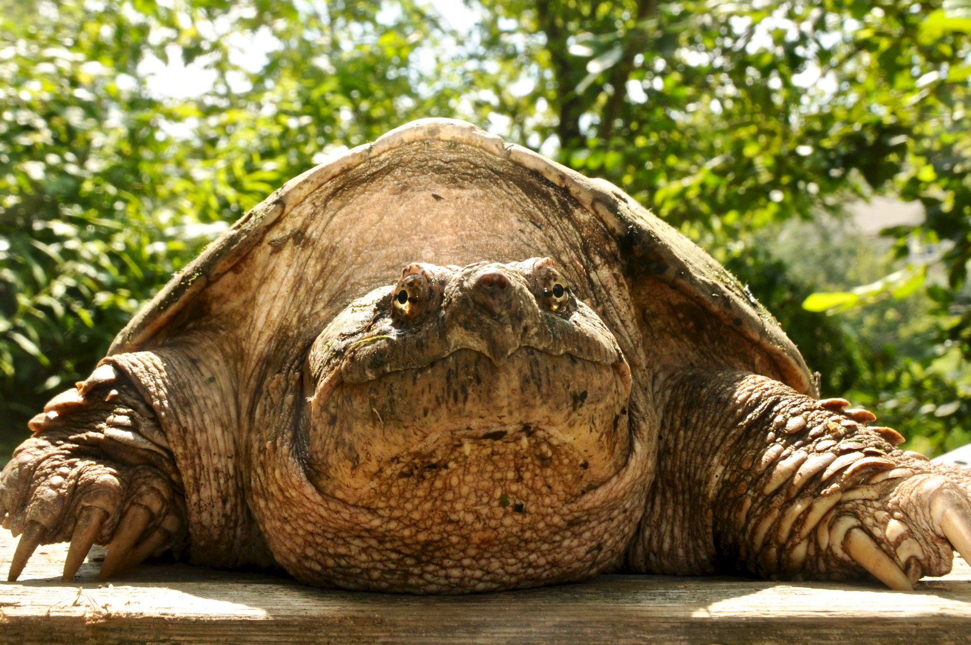 Common Snapping Turtle 111