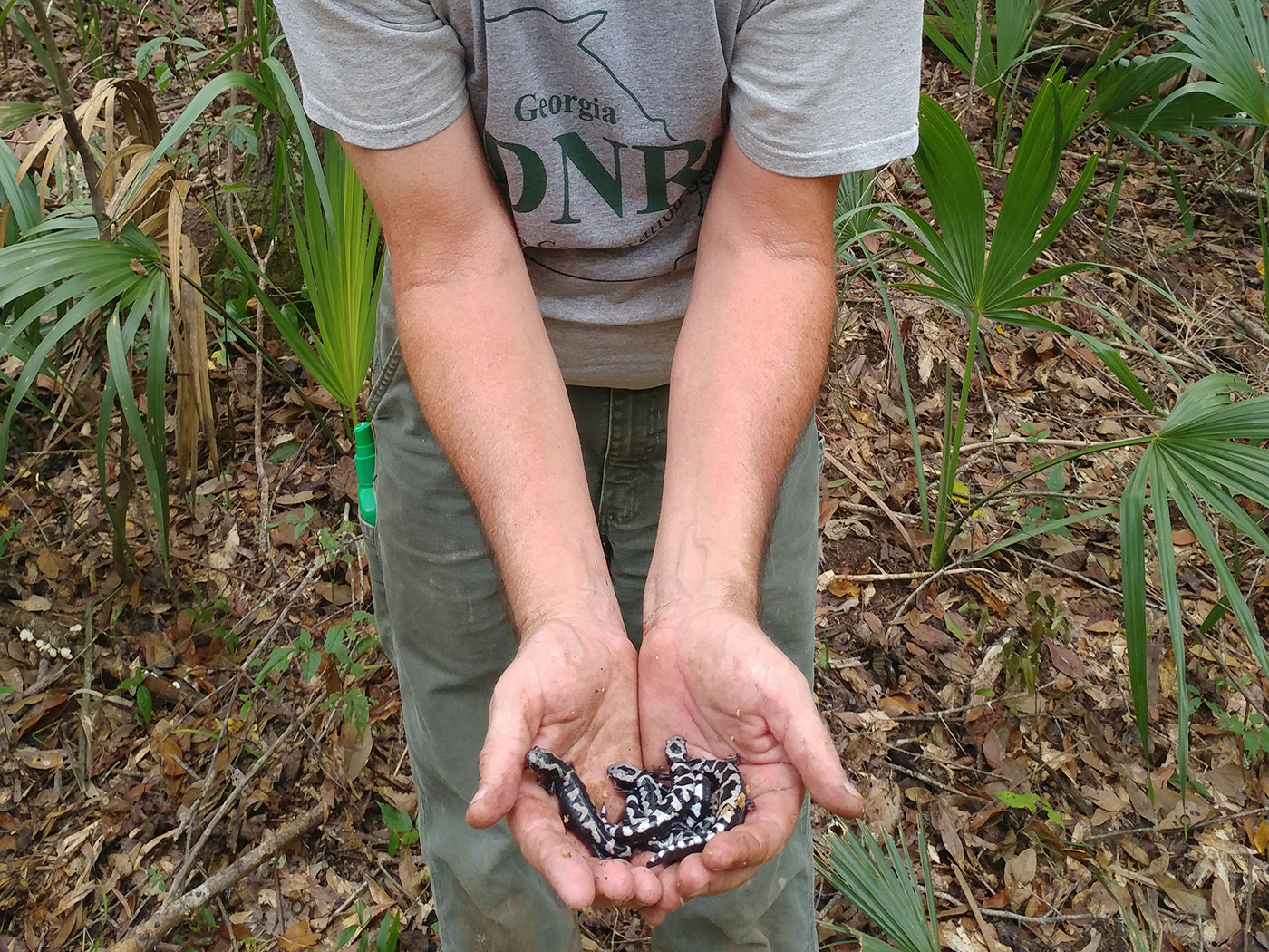 John Jensen with Marbled Salamanders - Ocmulgee